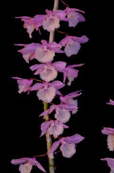 Dendrobium+pierardii