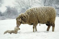 "From Robert Harding World Imagery in England, a company with over 1,100 contributing professional photographers: ""Merino Sheep, Lamb"" #832-1294"