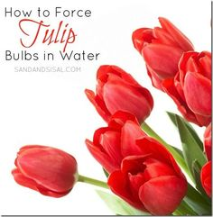 How to Force Tulip Bulbs in Water - Sand & Sisal