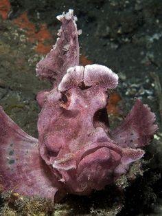 paddleflap scorpion fish Weird Sea Creatures, Ocean Creatures, Beautiful Creatures, Underwater Creatures, Underwater Life, Fish Under The Sea, Ocean Ecosystem, Ocean Aquarium, Grumpy Face