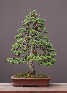 Norway Spruce Bonsaï