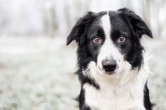 + images about Collies on Pinterest | Border Collies, Border Collie ...
