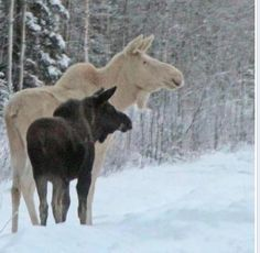 White mother moose with normal colored calf.