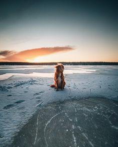 Our Office Dog 'Snoopi' looks like some red arctic fox in this picture.🦊❄️ - - #arctic #artofvisuals #tolleri #toller #novascotiaducktollingretriever #novascotiannoutaja #dogstagram #dogsofinstagram #landscape #lakeview #freezing #frozen #frozenlake #suomiretki #suomenluonto #visitfinland #ourfinland #visitkainuu #luontokuva #luontoonfi #suomenluonnonvalokuvaajat #widelens #canonm50 #finland Office Dog, Nova Scotia Duck Tolling Retriever, Arctic Fox, Lake View, Finland, Frozen, Waves, Landscape, Beach