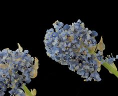 Ceanothus thyrsiflorus var thyrsiflorus—creeping blueblossom. Blooms both spring and fall.