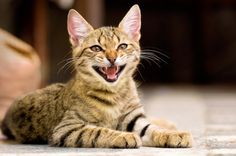 "Trills, chirps, barks and even ""bleats"" — cat sounds go far beyond the usual meows. Here's what's behind some of the strangest cat noises!"