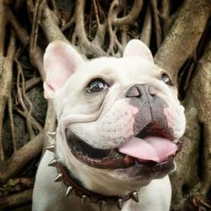 """""""I'm Tough, I Tells Ya, Just Look at My Collar! Hey.....is that a Leash, am I  goin' for a walkies??!! Hilariously Tough French Bulldog.❤"""