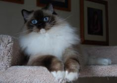 USA Purrs - Ragdoll Colors and Patterns