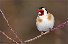 European Goldfinch (Carduelis carduelis) by Gyorgy Szimuly on 500px