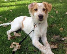 Ripley the Australian Cattle Dog Mix Pictures 993234