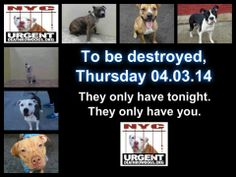 TO BE DESTROYED - 4/3/14 PITTIES ARE IN DANGER AGAIN. ALL THESE DOGS COUNT ON US!!! LET'S NOT LET THEM DOWN!!! PLEASE OPEN YOUR HEARTS AND PLEDGE, TAKE THEM HOME, BUT BE QUICK AS TIME IS TICKING AWAY. THE LIST IS VERY LONG AGAIN AND WE WE HAVE SOLITTLE TIME SO BE QUICK WHEN MAKING UP YOUR UP. https://www.facebook.com/media/set/?set=a.611290788883804.1073741851.152876678058553&type=3