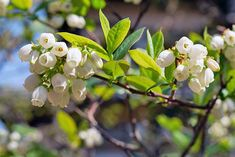 White blueberry flowers growing on a branch with green leaves. Blueberry Flowers, Blueberry Plant, Blueberry Bushes, Fast Growing Plants, Growing Flowers, Blueberry Varieties, Growing Blueberries, Pink Popcorn, Plant Tattoo