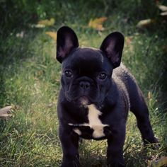 Darling Frenchie baby