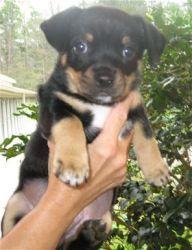 TUGG is an adoptable Pug Dog in Brunswick, GA. ...