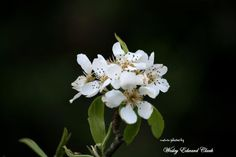 Pear blossoms in our orchard...1st year for blossoms...hopefully we will have pears.