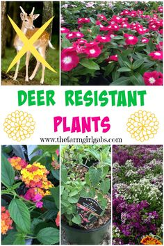 Here are some deer resistant plants that you can plant in your garden and the deer should not eat.