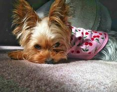 Teacup Yorkie, Yorkie Puppy, Animal Pictures, Cute Pictures, Yorshire Terrier, Dog Rules, Yorkies, Cute Baby Animals, Yorkshire