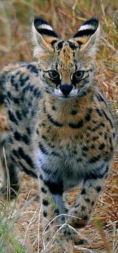 Super Cute Animals, Cute Baby Animals, Animals And Pets, Beautiful Cats, Animals Beautiful, Serval Cats, Gato Grande, Exotic Cats, Unusual Animals