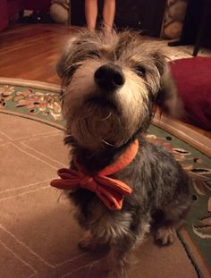 Meet Rolo, a Petfinder adoptable Schnauzer Dog | Seattle, WA | Rolo is a cute little Schnauzer Terrier mix who is approx 2-years-old. He does great with children...