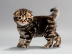 Scottish Fold - some day I absolutely, positively MUST have this kind of kitty!!!