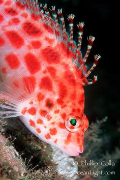 Coral hawkfish  Range: Indo-Pacific: Red Sea south to East London, South Africa and east to the Marquesas Islands, north to the Mariana Islands, south to New Caledonia. Eastern Pacific: Gulf of California to Colombia and the Galapagos Islands