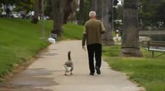 The man (Dominic) and the goose (Maria) --- click to watch the video
