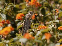 Chameleon in the flowers