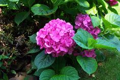 1000 images about florals on pinterest hydrangeas for Easy to care for perennial flowers