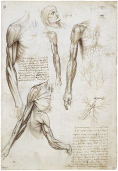 Écorché by Leonardo da Vinci - Science art - recovered image - Human Anatomy Anatomical Illustration Arm Anatomy, Muscle Anatomy, Anatomy Study, Anatomy Drawing, Anatomy Art, Anatomy Reference, Human Anatomy, Leonardo Da Vinci Dibujos, Michelangelo