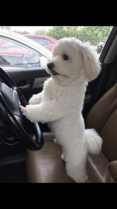 Lindo perrito blanco manejando un coche | Cute white puppy driving a car - #animales lindos #animales preciosos #cute animals #ad