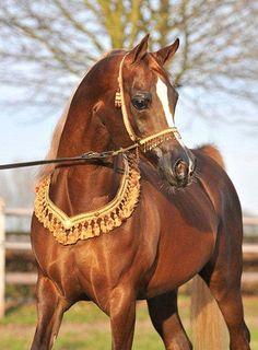 Master Design GA (Versace x Bea Society Belle) 2002 chestnut stallion bred by Geneva Arabians, Wisconsin