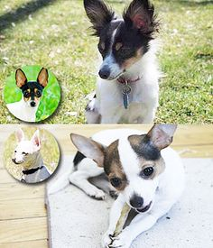 The Taco Terrier is a mix of Chihuahua and Toy Fox Terrier is named as Taco Terrier. Taco Terrier, Toy Fox Terriers, Terrier Breeds, Small Dog Breeds, All Dogs, Chihuahua, Beast, Corgi, Creatures