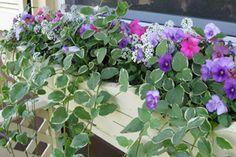 Trailing Vinca Vine plant growing in a window box
