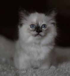 Isn't she adorable? Sunrise ~ Miss Kitty. Ragdoll Kittens For Sale, Kitten For Sale, Cats And Kittens, Miss Kitty, Cool Cats, Sunrise, Cute Animals, Pets, Board