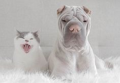 BoredPanda World's Most Photogenic Shar Pei And His Cat Are The Best Friends Ever