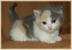 A Dilute Calico kitten - see the difference in the subdued colors?