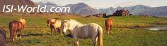 """aus der """"Islandsaga"""".   Früher, wenn Futterknappheit herrschte, wurde den Ponys Fisch verfüttert."""