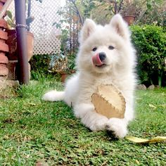 "Chop-lickin' good- Loba Pelusa II Samoyed Chile (@samoyed_loba) on Instagram: "" jugar jugar jugar jugar .... #samoyedlove #doglovers #puppydog"""