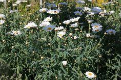 Struikmargrietjes - Chrysanthemum frutescens*