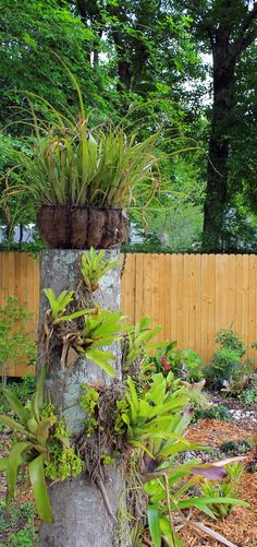 Turn a tree stump into a home for bromeliads and other epiphytes! In colder climates they can be removed before the first frost and grown as houseplants. Tree Stump Planter, Tree Stumps, Impatience, Succulent Terrarium, Outdoor Travel, Potted Plants, Houseplants, Architecture Art, Gardening Tips