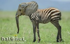 Słoń i zebra. Taka nasza wariacja :)