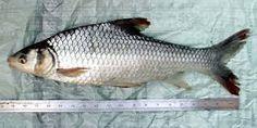 Image result for mekong fish