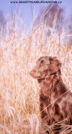 www.martinaburianova.cz Dogs - Flat Coated Retriever
