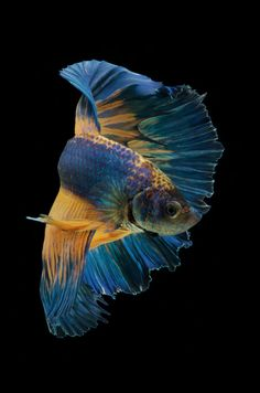 Beta Fish, Types Of Animals, Fish And Chips, Betta, Artwork Ideas, Phase 2, World, Water, Photography