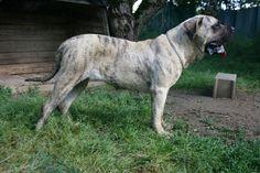 Dogo Canario 04