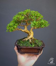 Shohin Bonsai Choosing Between Gazebo Kits and Gazebo Plans Getting a gazebo is a terrific idea to e Bonsai Art, Bonsai Plants, Bonsai Garden, Bonsai Trees, Mini Bonsai, Indoor Bonsai, Wooden Gazebo Kits, Gazebo Plans, Backyard Gazebo