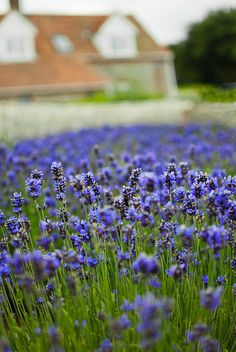 Lavender garden., via Flickr.
