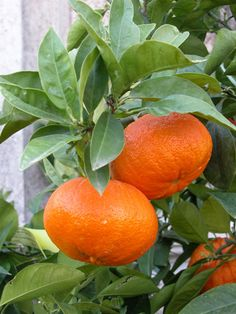 Citrus aurantium 'foetifera'