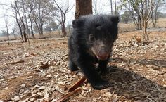 After Poachers Electrocute His Mother, Mowgli The Bear Gets Rescued | Care2 Causes