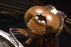 Dragonfly Eyes... Photo by Chris Crowder.